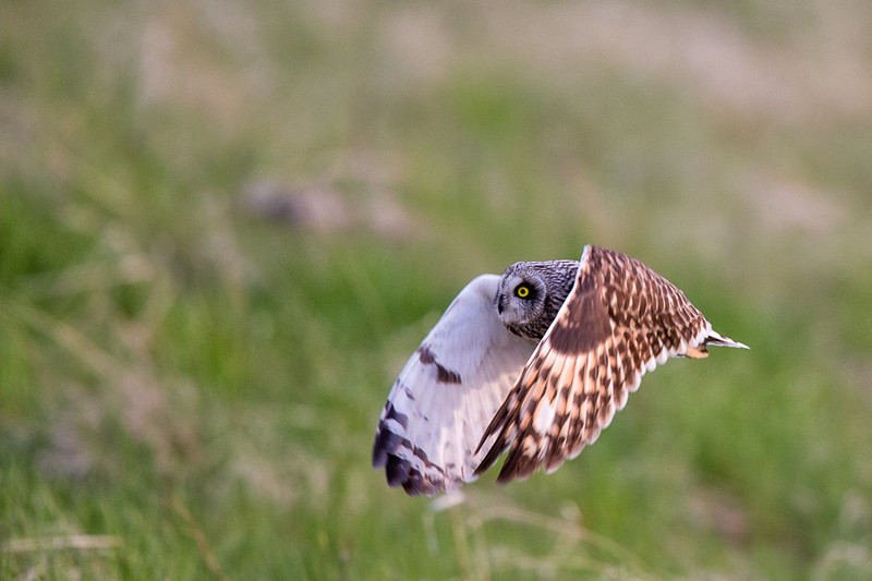 Short-eared Owl, Emigrant Hill, Oregon