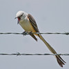 Sissor-tailed Flycatcher