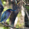 Green Heron in Florida Everglades