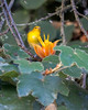 Prothonotary Warbler on a Monkey Hand Tree in the Botanical Gardens.  A rare migrant for this area. (Taken 5Oct2014)