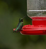 Ruby-throated Hummingbird<br /> (Archilochus colubris)