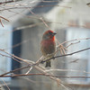 Purple Finches that live outside my office window