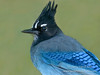 Steller's Jay, Taos, New Mexico