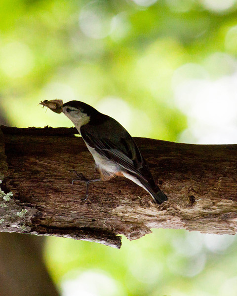 Nuthatch with moth