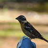 Black-headed Grosbeak 黑头蜡嘴