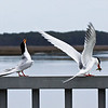 Forsters Terns