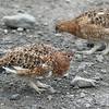 The Willow Ptarmigan, a bird in the grouse sub family and the Alaskan State Bird.