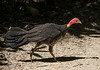brush turkey