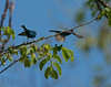 Indigo Bunting territory fight
