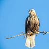 Rough-legged Hawk, Emigrant Hill, Oregon