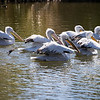 White pelicans cruising in the morning light.