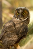 Immature Long-eared Owl