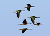 White-faced Ibis Fly-by