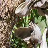 Baby Bewick's wren climbing the pepper tree