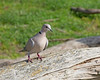 This Eurasian Collared Dove (wild) came down for a drink in the Giraffe exhibit at the San Francisco Zoo.