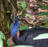 Cassowary close up