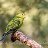Captive Orange-bellied Parrot