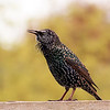 Starling on my fence