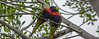 lorikeet pair necking