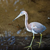 Tricolored Heron, St Augustine Rookery