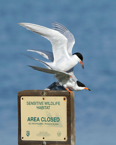 Forster's Terns mating
