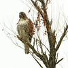 Red-tailed Hawk 红尾鹰