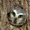 "Northern Saw-whet Owl  ""I'll Be Watching You"""