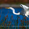 Great Egret taking off, Williamstown wetlands, Victoria