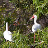 White Ibis in the Everglades of Florida,
