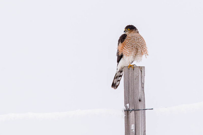 Sharp-shinned Hawk, Emigrant Hill, Oregon