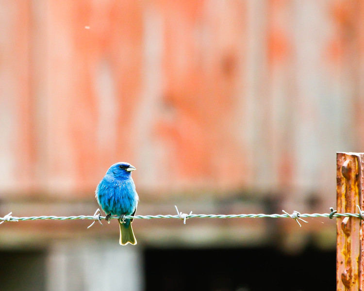 Indigo Bunting and Barn