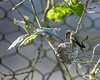 Anna's Hummingbird.  This was a little female, who build her nest right next to the Snow Leopard exhibit at the San Francisco Zoo.  Good choice!  She successfully fledged two youngsters from this nest.  After her two chicks left, she proceeded to build her next nest inside the Snow Leopard exhibit.