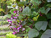 D271-2012 Hyacinth Bean vine on a trellis.<br /> This large vine was laden with ripening beans, but was still producing blooms late into the autumn.<br /> .<br /> Toledo Botanical Garden, Ohio.<br /> September 28, 2012