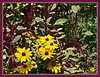 D201-2012 Black-eyed Susans and the unidentified magenta plumes or spikes make a bold display. . Matthaei Botanical Gardens, Ann Arbor, Michigan. July 20, 2012. (nex5n)