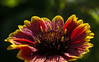 D178-2014  Dew on flowers:  Gaillardia<br /> <br /> Butterfly Garden at Gallup Park, Ann Arbor, Michigan<br /> June 27, 2014