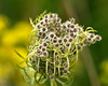 D244-2012 Queen Anne's Lace<br /> .<br /> Hidden Lake Gardens, Lenawee County, Michigan.<br /> September 1, 2012