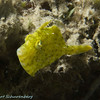Fringed Filefish in green three-quarters