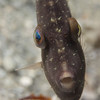 Fringed filefish headon
