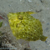 Fringed Filefish in green