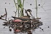 Nesting Black-Necked Stilt