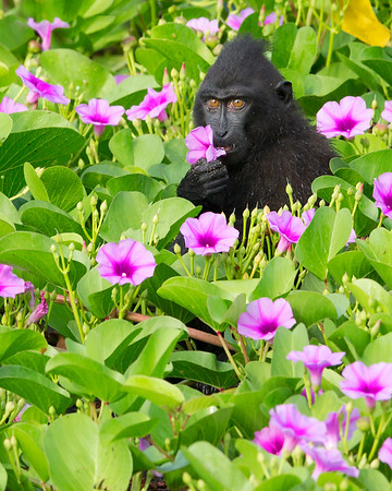 This photograph of a Crested or Sulawesi Black Macaque enjoying a Morning Glory breakfast  was captured in Tangkoko National Park in Sulawesi, Indonesia (5/13).  This photograph is protected by the U.S. Copyright Laws and shall not to be downloaded or reproduced by any means without the formal written permission of Ken Conger Photography.