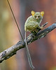 This photograph of a perched Tarsier was captured in Tangkoko National Park in Sulawesi, Indonesia (5/13).  This photograph is protected by the U.S. Copyright Laws and shall not to be downloaded or reproduced by any means without the formal written permission of Ken Conger Photography.