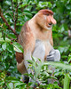 This photograph of a Proboscis Monkey or Long-nosed monkey was captured in Tanjung Puting National Park in Borneo, Indonesia (5/13).  This photograph is protected by the U.S. Copyright Laws and shall not to be downloaded or reproduced by any means without the formal written permission of Ken Conger Photography.