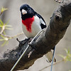 Rose-breasted Grosbeak, Central park