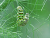 Swallowtail Caterpillar eating Fennel