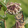 Female Monarch Butterfly feeding on Milkweed.