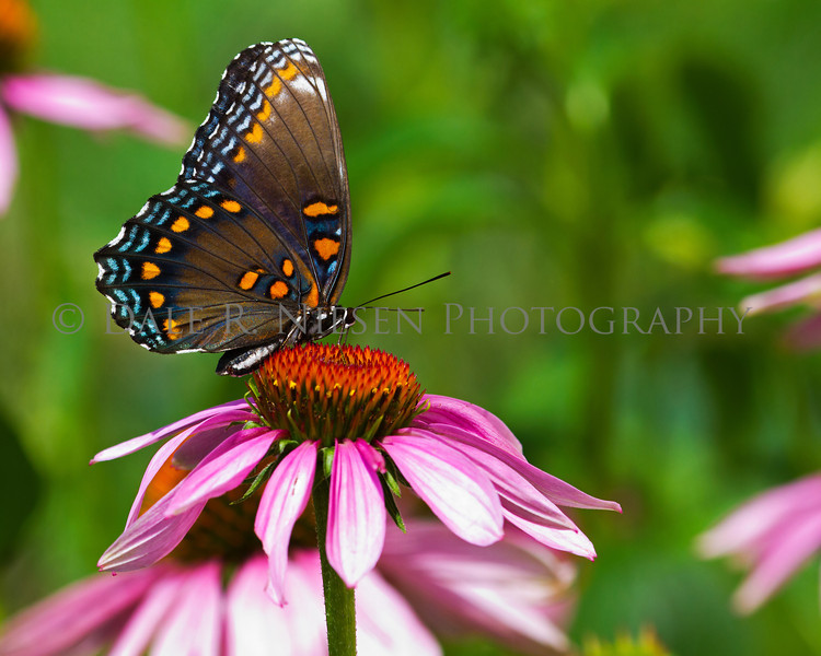Red-spotted Purple Butterfly on Purple Cone Flower.