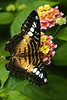 Brown Clipper butterfly  (Parthenos sylvia philippensis), on Lantana (verbena)