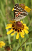 American Lady {Vanessa virginiensis} on Brown-eyed Susan <br /> College Station, TX<br /> © WEOttinger, The Wildflower Hunter - All rights reserved<br /> For educational use only - this image, or derivative works, can not be used, published, distributed or sold without written permission of the owner.