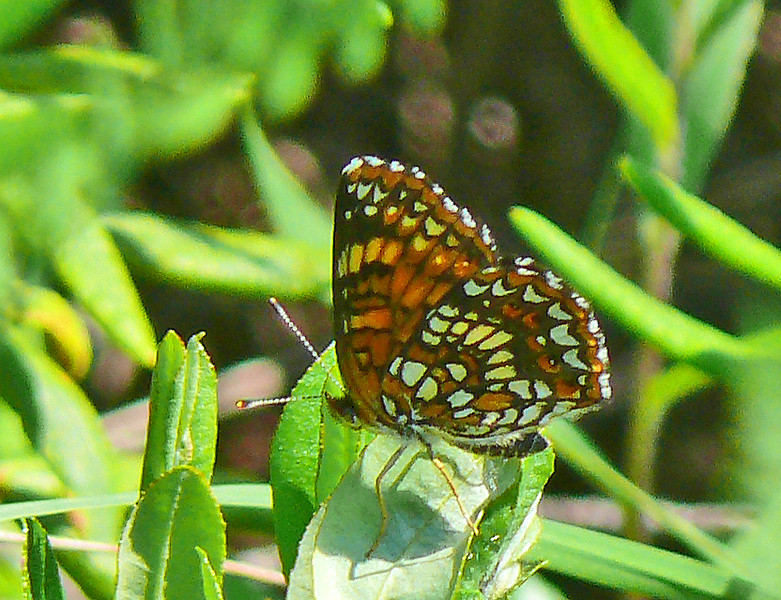 Haris's Checkerspot